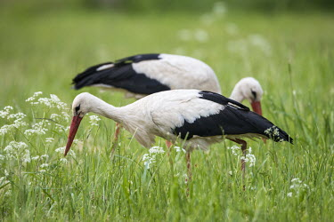 White stork feeding on insects in meadow birds,bird,birdlife,avian,aves,stork,storks,bill,walking,meadow,habitat,green background,eating,feeding,forage,foraging,hunting,White stork,Ciconia ciconia,Chordates,Chordata,Storks,Ciconiidae,Ciconii