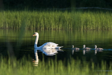 Mute swan (Cygnus olor) with cygnets at edge of lake, Tartu region, Estonia swans,swan,bird,birds,birdlife,avian,aves,ponds,lakes,pond,lake,reeds,reed bed,wetland,cygnet,cygnets,chicks,chick,baby,babies,reed,habitat,reflection,negative space,green background,Mute swan,Cygnus