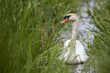 Mute swan (Cygnus olor) in channel amongst grasses, Tartu region, Estonia swans,swan,bird,birds,birdlife,avian,aves,ponds,lakes,pond,lake,reeds,reed bed,wetland,Mute swan,Cygnus olor,Aves,Birds,Chordates,Chordata,Waterfowl,Anseriformes,Ducks, Geese, Swans,Anatidae,Flying,Co