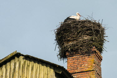 White stork (Ciconia ciconia) at nest built on barn chimney, Tartu region, Estonia bird,birds,birdlife,avian,aves,stork,storks,nest,nesting,habitat,spring,roost,roosting,negative space,rooftop,White stork,Ciconia ciconia,Chordates,Chordata,Storks,Ciconiidae,Ciconiiformes,Herons Ibis