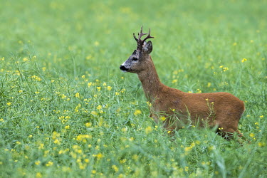 Roebuck (Capreolus capreolus) (male roe deer) in field, Tartu region, Estonia male,buck,herbivores,herbivore,vertebrate,mammal,mammals,terrestrial,ungulate,deer,deers,ruminant,field,meadow,flower meadow,shallow focus,green background,negative space,Roe deer,Capreolus capreolus,