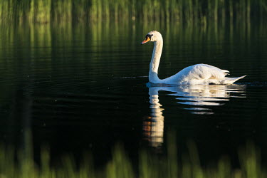 Mute swan (Cygnus olor) at edge of lake, Tartu region, Estonia swans,swan,bird,birds,birdlife,avian,aves,ponds,lakes,pond,lake,reeds,reed bed,wetland,reed,habitat,reflection,negative space,Mute swan,Cygnus olor,Aves,Birds,Chordates,Chordata,Waterfowl,Anseriformes