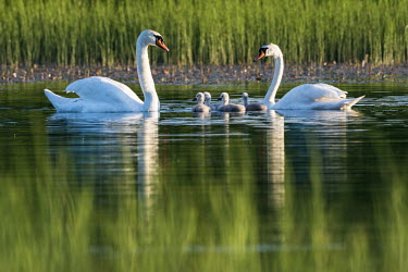 Mute swans (Cygnus olor) with cygnets at edge of lake, Tartu region, Estonia swans,swan,bird,birds,birdlife,avian,aves,ponds,lakes,pond,lake,reeds,reed bed,wetland,cygnet,cygnets,chicks,chick,baby,babies,reed,habitat,reflection,Mute swan,Cygnus olor,Aves,Birds,Chordates,Chorda
