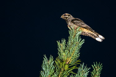 European nightjar (Caprimulgus europaeus) (male) on Scots pine (Pinus sylvestris) at night, Ashdown Forest, Sussex, England perch,perched,perching,sitting,nightjar,bird,birds,birdlife,avian,aves,night,night time,black,negative space,European nightjar,Caprimulgus europaeus,Nightjar,Caprimulgiformes,Goatsuckers, Nighthawks,C