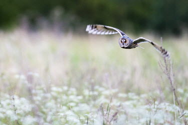 Long-eared owl hunting over meadow bird,birds,bird of prey,birds of prey,flying,flight,in flight,wings,eyes,Strigidae,Tytonidae,owl,owls,predator,talons,carnivore,hunter,shallow focus,negative space,Long-eared owl,Asio otus,Aves,Birds,