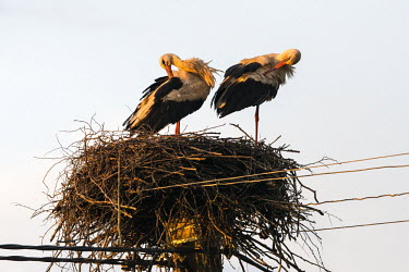 White storks (Ciconia ciconia) preening at nest built on electricity pylon, Tartu region, Estonia bird,birds,birdlife,avian,aves,stork,storks,nest,nesting,habitat,spring,roost,roosting,negative space,rooftop,legs,pair,couple,parents,preen,preening,White stork,Ciconia ciconia,Chordates,Chordata,Sto