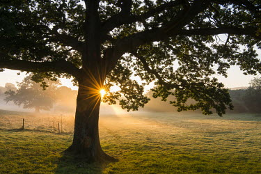 Oak tree (Quercus robur) at sunrise, Ashdown Forest, Sussex, England field,dawn,mist,misty,dew,farm,farmed,oak,oak tree,tree,sunrise,farmland,UK,England,Sussex,woodland,sunshine,Oak tree,Quercus robur,Pedunculate oak,Magnoliophyta,Flowering Plants,Fagaceae,Beech Family