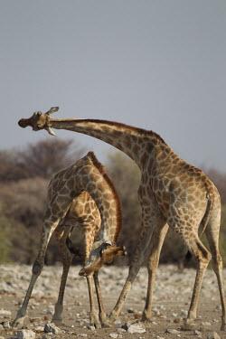 Giraffes 'necking' in dispute fighting,fight,necking,male,confrontation,behaviour,giraffes,males,aggression,Giraffe,Giraffa camelopardalis,Even-toed Ungulates,Artiodactyla,Chordates,Chordata,Mammalia,Mammals,Giraffidae,Giraffes,Te