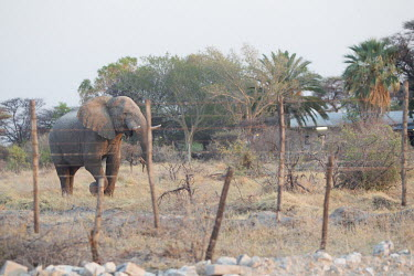 African elephant close to village protected by fence human animal conflict,elephants,fence,fenced off,human,humans,people,village,African elephant,Loxodonata africana,Loxodonta africana,Elephants,Elephantidae,Chordates,Chordata,Elephants, Mammoths, Mast