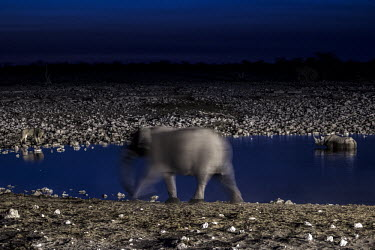 African elephant, rhino and lion nighttime at watering hole watering hole,water,water source,night,nighttime,bathing,drinking,drink,thirsty,composite image,African elephant,Loxodonata africana,Loxodonta africana,Elephants,Elephantidae,Chordates,Chordata,Elepha