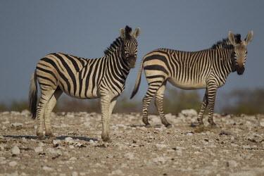 Plains zebra stood with mountain zebra zebra,horses,wild horse,mountain zebra,Equus zebra,differentiation,speciation,Plains zebra,Equus quagga,Chordates,Chordata,Perissodactyla,Odd-toed Ungulates,Equidae,Horses, Donkeys, Zebras,Mammalia,Ma