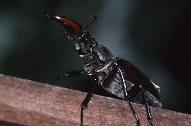 Side view of stag beetle Lucanus cervus,Stag beetle,Insects,Insecta,Lucanidae,Stag Beetles,Arthropoda,Arthropods,Coleoptera,Beetles,Urban,Europe,STAT_HD,Lucanus,Terrestrial,Temperate,Animalia,Carnivorous,Asia