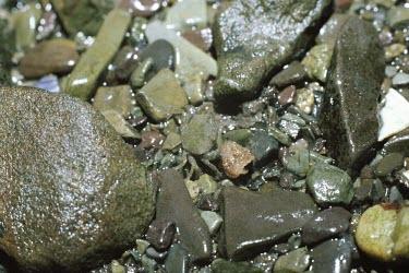 Common shore crab Common shore crab,Carcinus maenas,Arthropoda,Arthropods,Decapoda,Crayfish, Lobsters, Crabs,Aquatic,Animalia,Coastal,Carnivorous,Carcinus,Common,Europe,Estuary,Crustacea,Portunidae,Shore,Terrestrial