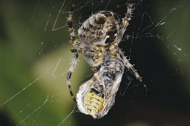 Female garden spider wrapping wasp prey in web Araneus diadematus,Garden spider,Araneidae,Orb Weavers,Arthropoda,Arthropods,Araneae,Spiders,Arachnida,Arachnids,Europe,Agricultural,Terrestrial,Common,Temperate,Araneus,Carnivorous,Animalia,North Ame