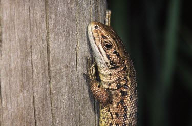 Viviparous lizard on tree Adult,Zootoca vivipara,Viviparous lizard,Chordates,Chordata,Squamata,Lizards and Snakes,Reptilia,Reptiles,Lacertidae,Wall Lizards,Lacerta vivipara,Common lizard,Lagartija de Turbera,Urban,Wildlife and