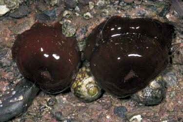 Beadlet anemones exposed at low tide Beadlet anemone,Actinia equina,Cnidaria,Cnidarians,Europe,Actiniidae,Shore,Actinaria,Anthozoa,Aquatic,Actinia,Estuary,Common,Africa,Asia,Carnivorous,Animalia