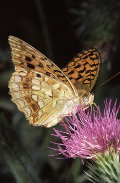 Side view of a high brown fritillary butterfly Argynnis adippe,High brown fritillary,Nymphalidae,Brush-Footed Butterflies,Lepidoptera,Butterflies, Skippers, Moths,Insects,Insecta,Arthropoda,Arthropods,Animalia,Argynnis,Fluid-feeding,Temperate,Scru