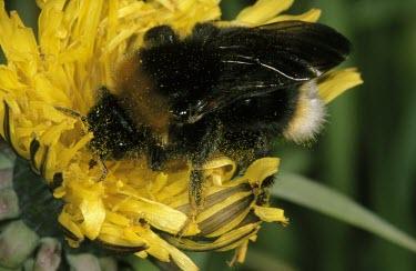 Vestal cuckoo bee Bombus vestalis,Vestal cuckoo bee,Bumble Bees, Honey Bees, Cuckoo Bees, Carpenter Bees,Apidae,Insects,Insecta,Arthropoda,Arthropods,Sawflies, Ants, Wasps, Bees,Hymenoptera,Psithyrus vestalis,Asia,Comm