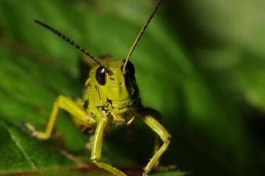 Large marsh grasshopper, anterior view Stethophyma grossum,Large marsh grasshopper,Arthropoda,Arthropods,Insects,Insecta,Orthoptera,Grasshoppers, Crickets and Katydids,Acrididae,Grasshoppers and Locusts,Wetlands,Europe,Animalia,Omnivorous,