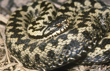 Adder Adult,Vipera berus,Adder,Reptilia,Reptiles,Squamata,Lizards and Snakes,Viperidae,Pit Vipers,Chordates,Chordata,Temperate,lotievi,Terrestrial,Heathland,Asia,Wildlife and Conservation Act,Europe,Animali