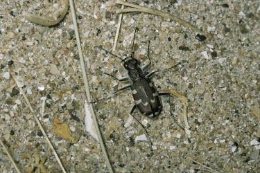 Dune tiger beetle Dune tiger beetle,Cicindela maritima,Carabidae,Ground Beetles,Insects,Insecta,Coleoptera,Beetles,Arthropoda,Arthropods,Shore,Cicindela,Europe,Animalia,Sand-dune,Carnivorous,Terrestrial