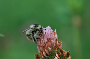 A shrill carder bee on red clover bumblebee,bee,bees bumblebees,insect,insects,invertebrate,invertebrates,macro,close up,antennae,pollinator,pollination,flower,negative space,green background,striped,stripey,hair,hairy,wings,shallow f