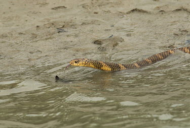 King cobra swimming across a river in the Sundarbans biosphere reserve cobra,snake,snakes,reptile,reptiles,scales,scaly,reptilia,lizards and snakes,cold blooded,pigment,tongue,swimming,swim,water,King cobra,Ophiophagus hannah,Squamata,Lizards and Snakes,Elapidae,Elapids,