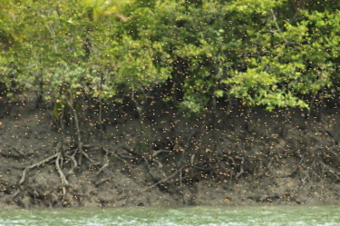 Honey bee swarm over a river in the Sundarbans biosphere reserve honeybee,honey bee,honeybees,Animalia,Arthropoda,Insecta,Hymenoptera,Apidae,Apis,bee,bees,insect,insects,invertebrate,invertebrates,swarm,mass,group,flight,fly,flying,pollinators,pollinator,Honey bee,