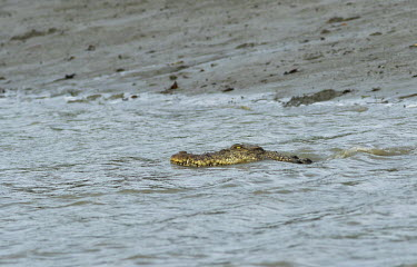 Saltwater crocodile in a river in the Sundarbans tiger reserve crocodile,croc,crocs,reptile,reptiles,scales,scaly,reptilia,lizards and snakes,cold blooded,swimming,swim,water,river,stream,rivers and streams,teeth,eyes,mouth,jaw,predator,carnivore,Saltwater crocod