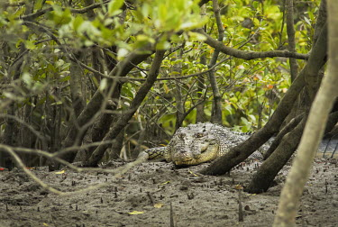 Saltwater crocodile lying in mangroves of the Sundarbans tiger reserve crocodile,croc,crocs,reptile,reptiles,scales,scaly,reptilia,lizards and snakes,cold blooded,teeth,eyes,mud,muddy,mangrove,mangroves,predator,carnivore,looking at camera,Saltwater crocodile,Crocodylus