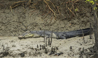 Saltwater crocodile lying in mangroves of the Sundarbans tiger reserve crocodile,croc,crocs,reptile,reptiles,scales,scaly,reptilia,lizards and snakes,cold blooded,teeth,eyes,mud,muddy,mangrove,mangroves,predator,carnivore,Saltwater crocodile,Crocodylus porosus,Salt-water
