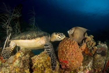 A hawksbill turtle eating a sponge, visited by a curious grey angelfish hawksbill,turtle,turtles,sea turtle,sea turtles,beak,cold blooded,reptile,reptiles,eating,feeding,food,diet,sponge,sponges,gray angelfish,angelfish,fish,reef,coral reef,reef life,marine,marine life,se