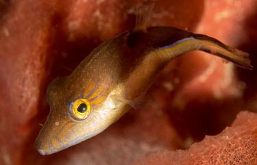 Caribbean triggerfish close up Caribbean sharpnose-puffer,puffer,pufferfish,sharpnose puffer,Animalia,Chordata,Actinopterygii,Tetraodontiformes,Tetraodontidae,Canthigaster,Canthigaster rostrata,marine,marine life,sea,sea life,ocean