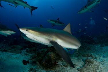 Caribbean reef shark with a fishing hook caught in its mouth reef shark,shark,sharks,sharks and rays,elasmobranch,elasmobranchs,elasmobranchii,predator,marine,marine life,sea,sea life,ocean,oceans,water,underwater,aquatic,reef,reef life,line,caught,fishing,trap