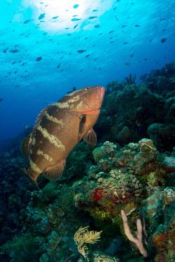 Nassau grouper swimming over reef marine,marine life,sea,sea life,ocean,oceans,water,underwater,aquatic,fish,reef fish,predator,reef life,reef,coral reef,grouper,tropical,Nassau grouper,Epinephelus striatus,Chordates,Chordata,Actinopt