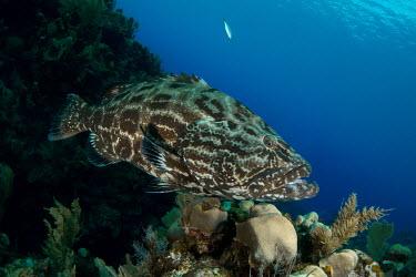 Close up of a black grouper marine,marine life,sea,sea life,ocean,oceans,water,underwater,aquatic,fish,reef fish,predator,reef life,reef,coral reef,grouper,tropical,coral,Black grouper,Mycteroperca bonaci,Bass and Perches,Percif