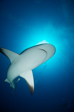 Caribbean reef shark swimming overhead reef shark,shark,sharks,sharks and rays,elasmobranch,elasmobranchs,elasmobranchii,predator,marine,marine life,sea,sea life,ocean,oceans,water,underwater,aquatic,reef,reef life,mouth,belly,shark sucker