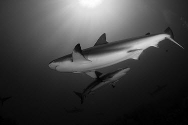 Caribbean reef shark swimming overhead reef shark,shark,sharks,sharks and rays,elasmobranch,elasmobranchs,elasmobranchii,predator,marine,marine life,sea,sea life,ocean,oceans,water,underwater,aquatic,reef,reef life,black and white,b&w,Cari