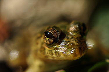 Close up of a frogs face frog,frogs,frogs and toads,amphibian,amphibians,eye,eyes,skin,close up,macro,shallow focus,looking at camera