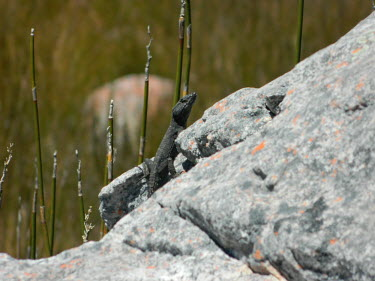 A black girdled lizard basking on a rock Black girdled lizard,lizard,lizards,reptile,reptiles,scales,scaly,reptilia,lizards and snakes,terrestrial,cold blooded,Animalia,Chordata,Squamata,Cordylidae,Cordylus,Cordylus niger,basking,sunbathing,