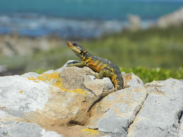 A Cape grag lizard basking on a rock Cape grag lizard,lizard,lizards,reptile,reptiles,scales,scaly,reptilia,lizards and snakes,terrestrial,cold blooded,yellow,pigment,pigmentation,colour,colourful,rock,sunbathing,basking,Animalia,Chordat