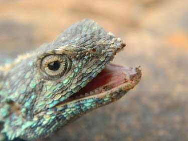 Close up of a Southern rock agama head Southern rock agama,rock agama,lizard,lizards,reptile,reptiles,scales,scaly,reptilia,lizards and snakes,terrestrial,cold blooded,spiny,spines,spikey,armour,blue,pigment,pigmentation,colour,colourful,s