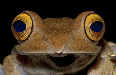 Close up portrait of a boophis frog with emphasis on the eyes frog,frogs,frogs and toads,amphibian,amphibians,eye,eyes,blue,brown,macro,close up,black,shallow focus,face,pupil,pupils,Madagascar bright-eyed frog,Boophis madagascariensis,Boophis,Mantellidae,Anura,
