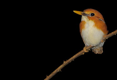 Madagascar pygmy-kingfisher perching on a branch with a black background bird,birds,birdlife,avian,aves,wings,feathers,bill,plumage,perch,perched,perching,sitting,black,close up,orange,kingfisher,pygmy kingfisher,negative space,Madagascar pygmy-kingfisher,Ceyx madagascarie