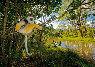 Diademed sifaka sat in a tree overlooking a river primate,primates,lemur,lemurs,endemic,Madagascar,tropical,rainforest,legs,yellow,fur,eyes,face,relaxed,relaxing,sifaka,river,stream,rivers and streams,jungle,jungles,forest,arboreal,habitat,Diademed s