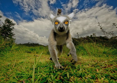 Ring-tailed lemur investigating the camera primate,primates,lemur,lemurs,endemic,Madagascar,tropical,rainforest,eyes,face,looking at camera,grass,ring tail,ring-tailed,action,close up,movement,sky,Ring-tailed lemur,Lemur catta,Chordates,Chorda