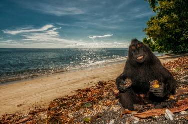 Crested black macaque sat on a beach macaques,mammal,mammals,vertebrate,vertebrates,terrestrial,monkey,monkeys,primate,primates,eyes,sitting,hands,feet,beach,sky,blue sky,tropical,coast,coastal,sea,ocean,water,eat,eating,feeding,food,tee