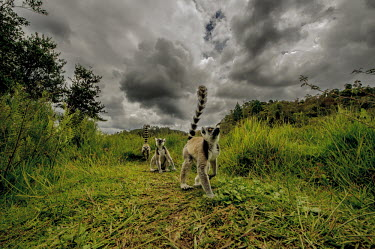 A troop of ring-tailed lemur walking through tall grass primate,primates,lemur,lemurs,endemic,Madagascar,tropical,forest,field,grass,ring tail,ring-tailed,troop,group,tail,tails,sky,clouds,cloudy,stormy,rain cloud,weather,Ring-tailed lemur,Lemur catta,Chor