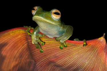 Boophis frog sat on peach coloured petal Animalia,Chordata,Amphibia,Anura,Mantellidae,Boophis elenae,frog,frogs,frogs and toads,amphibian,amphibians,eye,eyes,skin,pigment,pigmentation,colourful,colour,blue,leaf,macro,close up,red,orange,happ