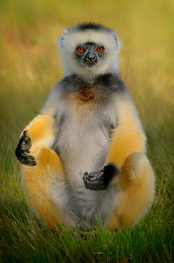 Diademed sifaka sunbathing in open grass primate,primates,lemur,lemurs,endemic,Madagascar,tropical,rainforest,sunbathing,belly,arms,yellow,fur,eyes,face,looking at camera,shallow focus,grass,relaxed,relaxing,sifaka,funny,Diademed sifaka,Prop